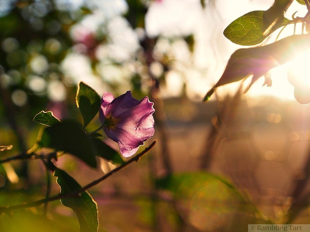 potato vine at sunrise