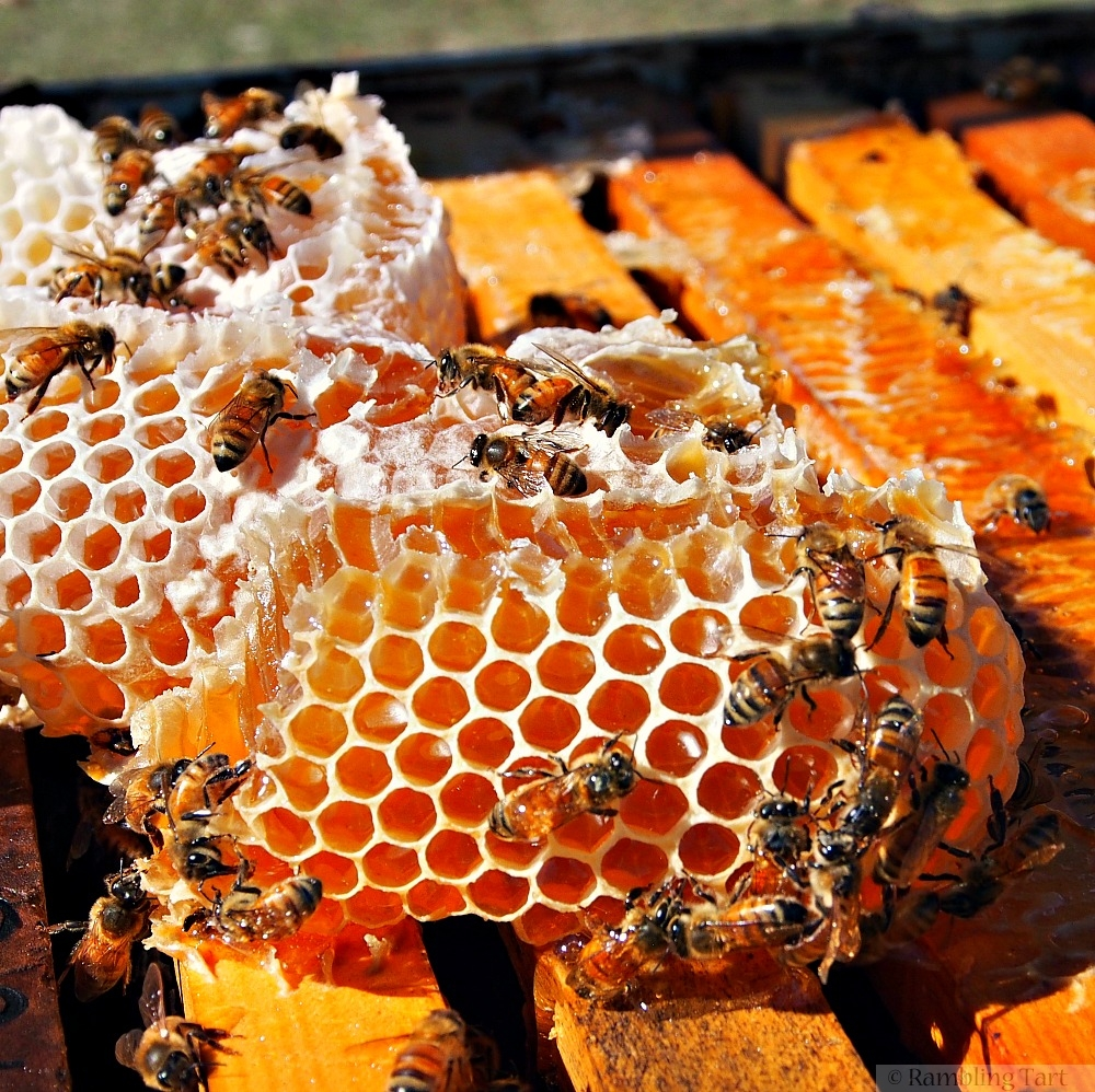 fresh honeycomb and bees