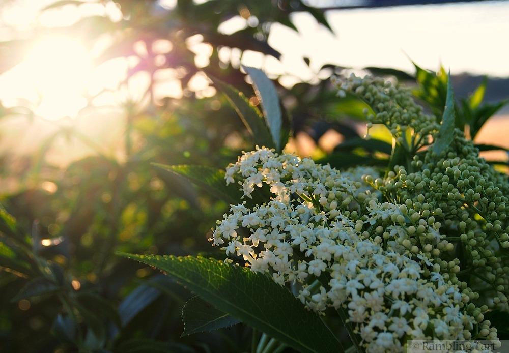 elderflowers at sunrise