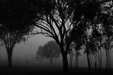 fog gum trees
