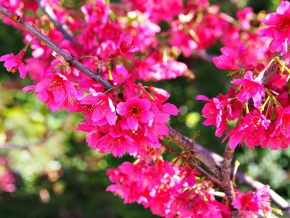 pink blossoming fruit tree