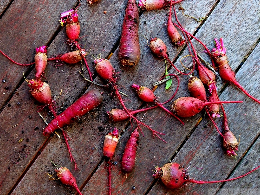 homegrown carrots and beets