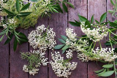 harvesting elderflowers