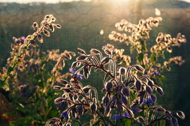 borage at sunrise