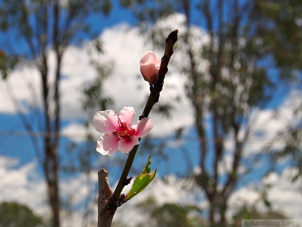 peach tree blossom