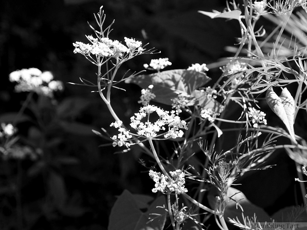 black and white caraway flowers