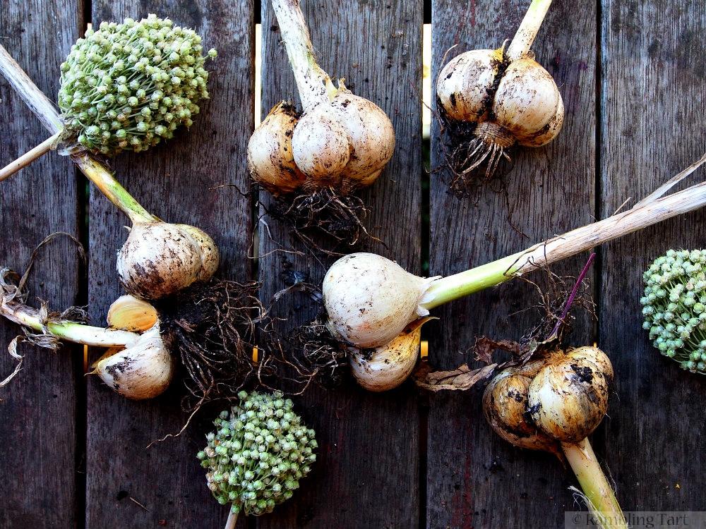 Russian garlic