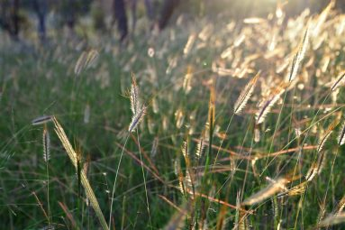 sunset through meadow grass