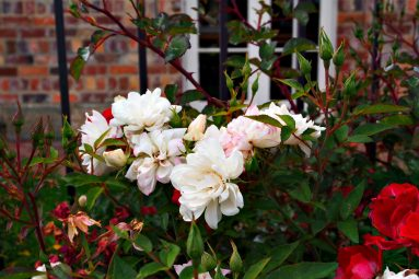 roses in Tasmania